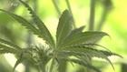Ex-Microsoft exec plans marijuana brand